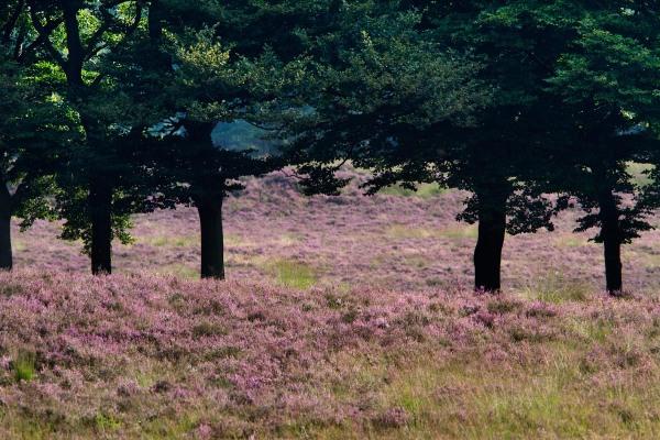 Foto van Heide, Planken Wambuis, Veluwe