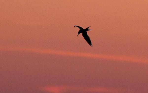Foto van een Visdief, de Kreupel, IJsselmeer.