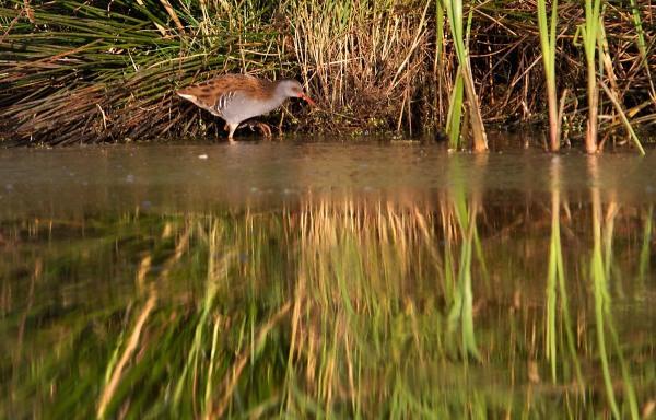Foto van een Waterral, Groene Jonker.