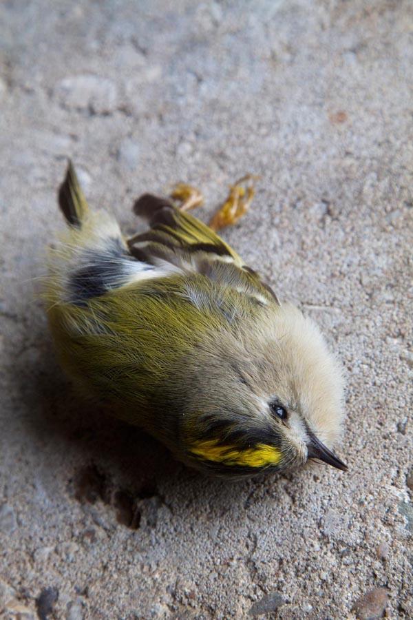 Foto van een dode Goudhaan.
