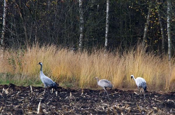 Foto van Kraanvogels, Diepholzer Moorniederung, Duitsland