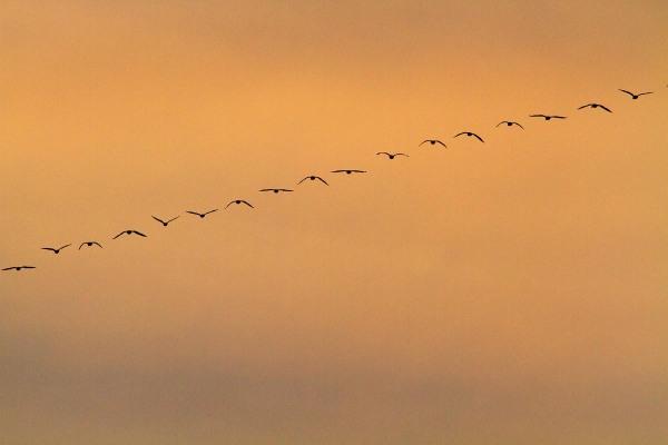 Foto van een vlucht ganzen boven de Groene Jonker