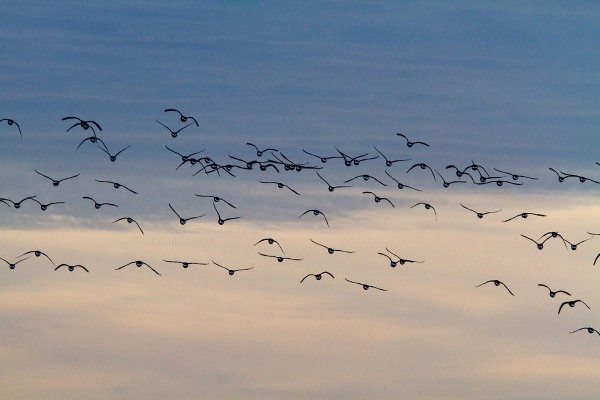 Foto van Rotganzen boven het wad, Terschelling
