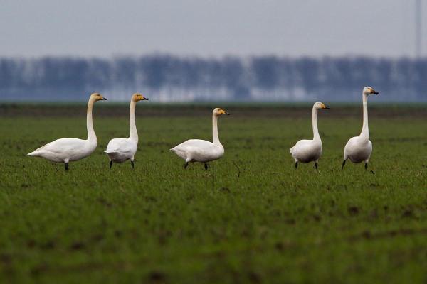 Foto van Wilde Zwanen in Flevoland
