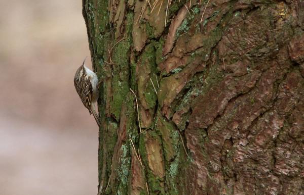 Foto van een Boomkruiper, Strabrechtse Heide