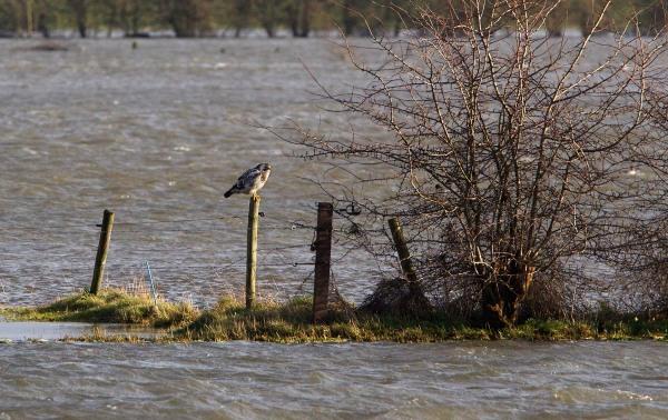 Foto van een Buizerd bij de IJssel