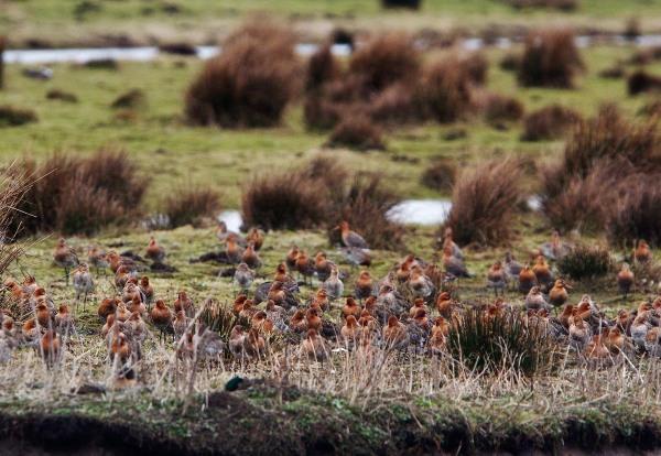 Foto van Grutto's in natuurgebied Willeskop, Oudewater