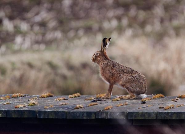 Foto van een Haas in natuurgebied Willeskop, Oudewater
