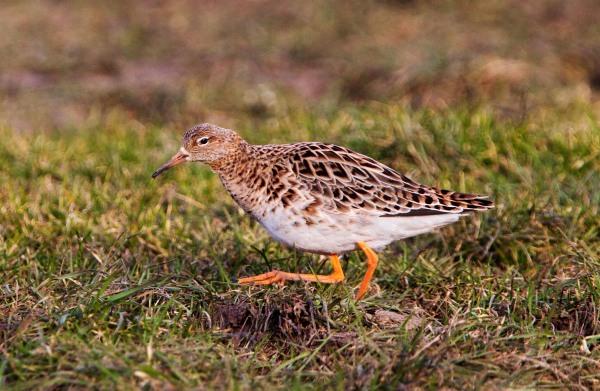 Foto van een Kemphaan, Oudega,  Gaasterland, Friesland