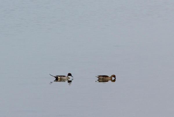 Foto van Pijlstaarten op het wad.