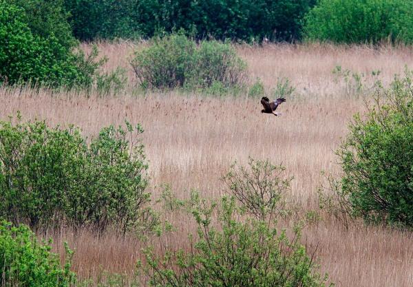 Foto van een Bruine Kiekendief in Nationaal Park Alde Feanen, Friesland