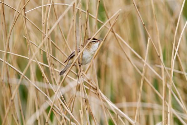 Foto van een Rietzanger in Nationaal Park Alde Feanen, Friesland
