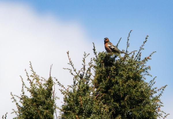 Foto van een Vink in een jeneverbes, Mantingerveld, Drenthe
