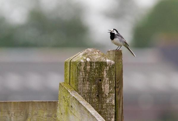Foto van een Witte Kwikstaart, Friesland