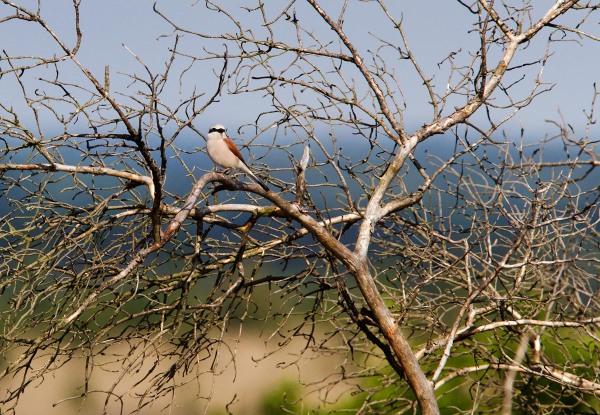 Foto van een Grauwe Klauwier, Sallandse Heuvelrug