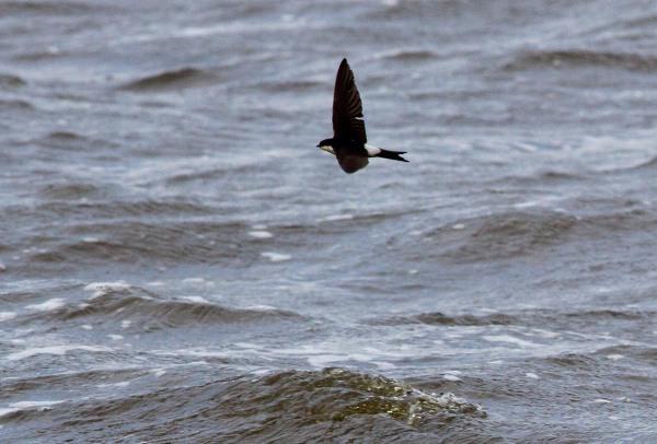 Foto van een Huiszwaluw, Starrevaart