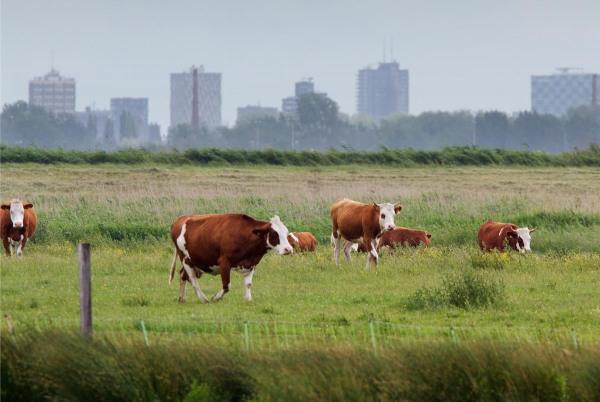 Foto van koeien, Ackerdijkse Plassen