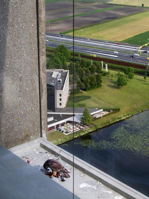 Foto van een juveniele Slechtvalk, Den Bosch