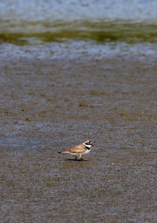Foto van een Kleine Plevier, Nationaal Park Lauwersmeer