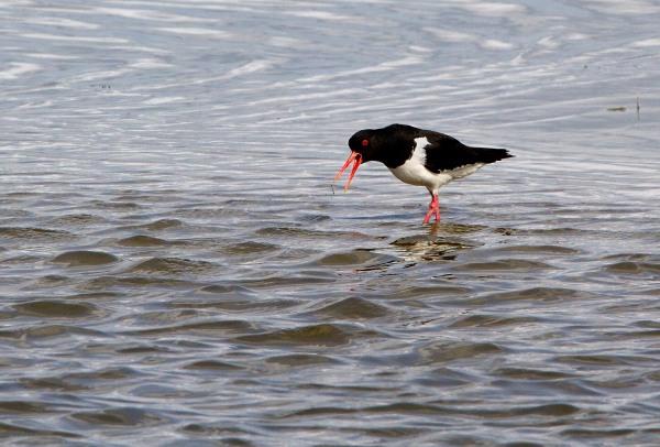 Foto van een Scholekster, Nationaal Park Lauwersmeer