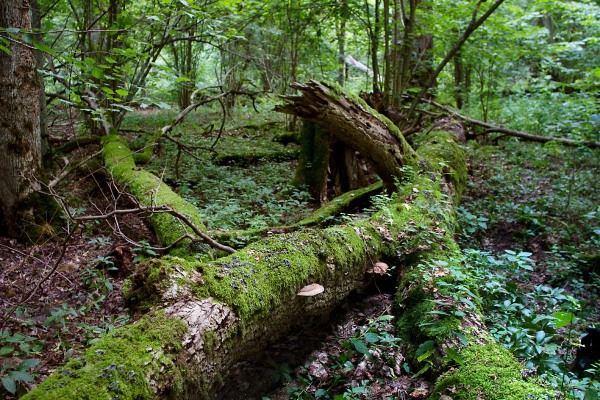 Foto van het bos van Bialowieza