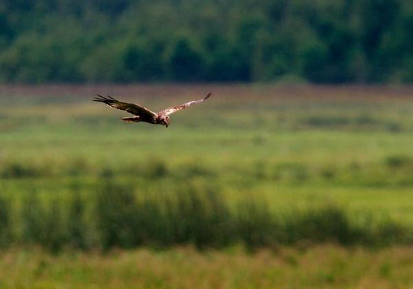 Foto van een Bruine Kiekendief, Nationaal Park Biebrza, Polen
