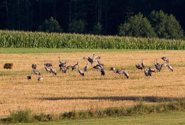 Foto van Kraanvogels, Biebrza