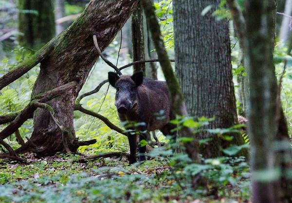 Foto van een wild zwijn in het bos van Bialowieza