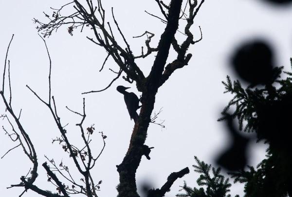 Foto van een Zwarte Specht in het bos van Bialowieza