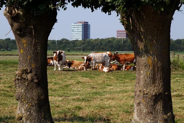 Foto van  koeien, Polder Heicop, Utrecht