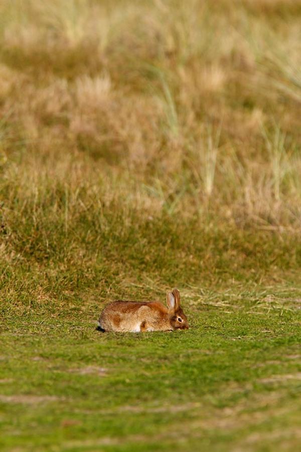 Foto van een Konijn in de duinen van Texel