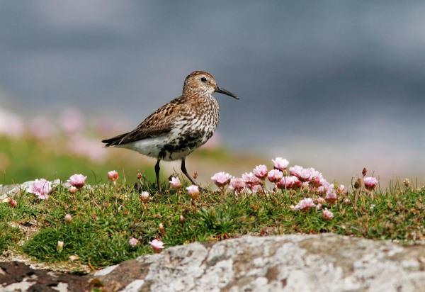Foto van een Bonte Strandloper, Noss, Shetland