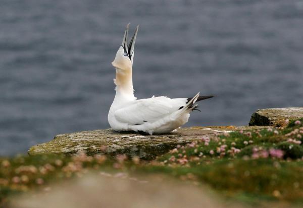 Foto van Jan-van-gent, Noss,, Shetland
