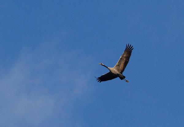 Foto van een Kraanvogel, Lac du Der, Frankrijk