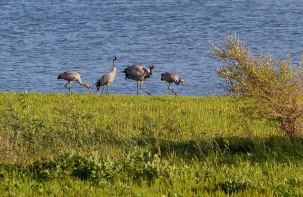 Foto van Kraanvogels, Lac du Der, Frankrijk