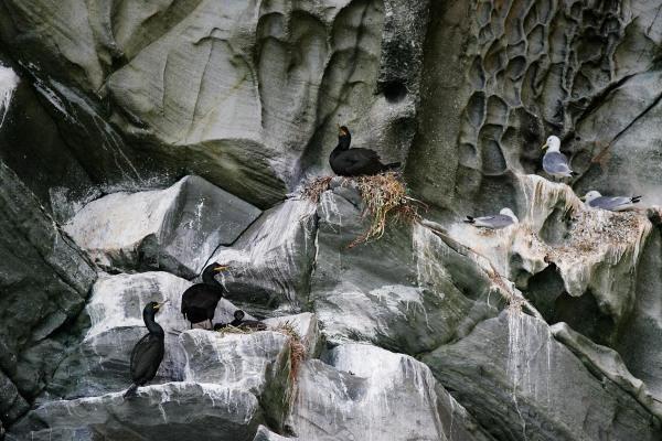Foto van Kuifaalscholvers en Drieteenmeeuwen, Bressay, Shetland