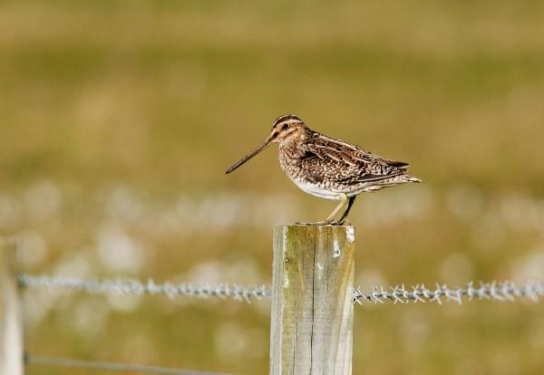 Foto van een Watersnip, Mainland, Shetland