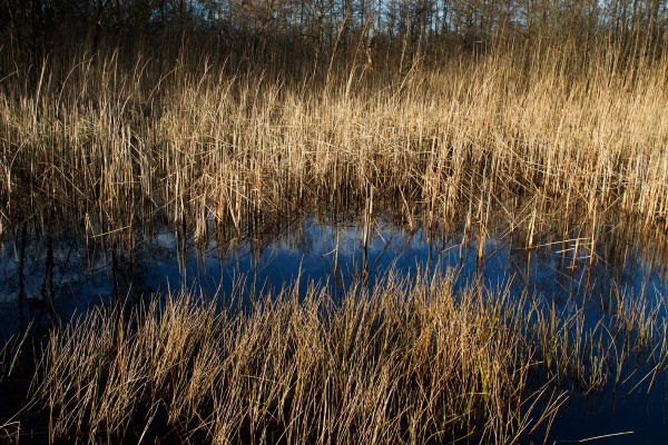 Foto van een rietveld in de Westbroekse Zodden