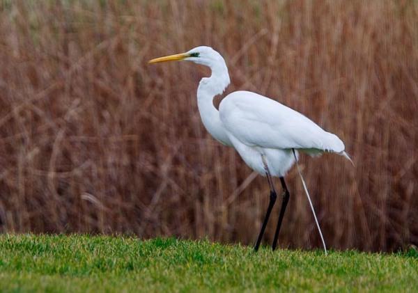 Foto van een Grote Zilverreiger, Lauwersmeer
