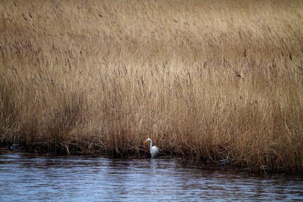 Foto van een Grote Zilverreiger, Kollumerwaard, Lauwersmeer