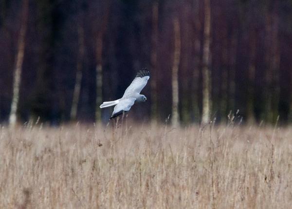 Foto van een Blauwe Kiekendief, Reijerscamp, Wolfheze