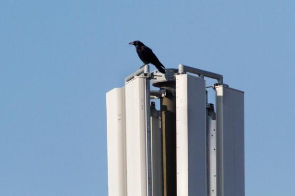 Foto van een Zwarte Kraai op een GSM mast, Utrecht