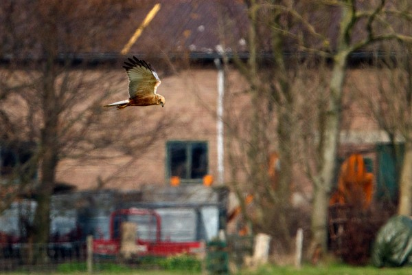 Foto van een Bruine Kiekendief, Texel