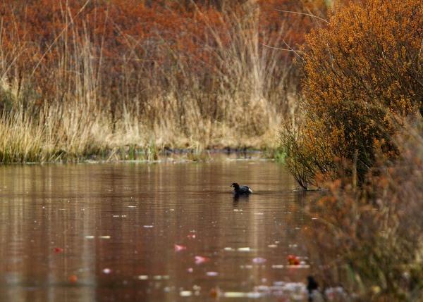 Foto van een Dodaars, Nationaal Park Meinweg