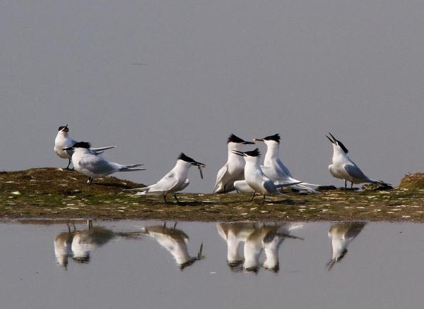 Foto van Grote Sterns, Ottersaat, Texel