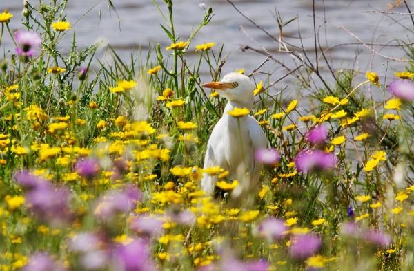 Foto van een Koereiger, Coto Doñana, Spanje