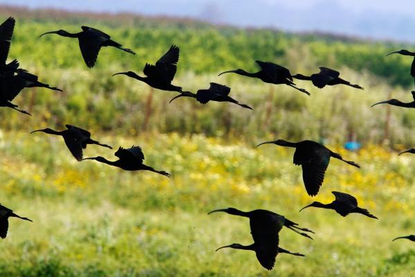 Foto van Zwarte Ibissen, Coto Doñana, Spanje