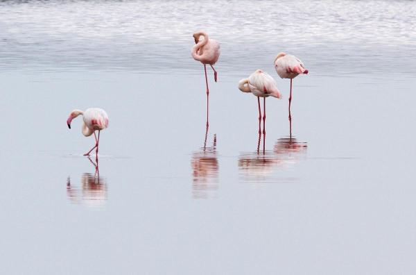 Foto van Flamingo's, Marismas del Odiel, Huelva, Spanje