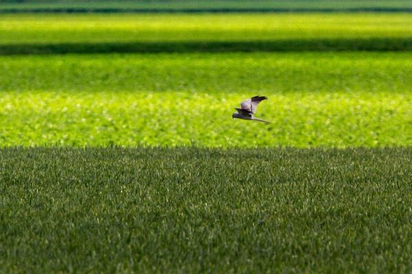 Foto van een Grauwe Kiekendief, Groningen