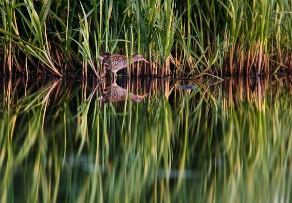 Foto van een Waterral, Groene Jonker